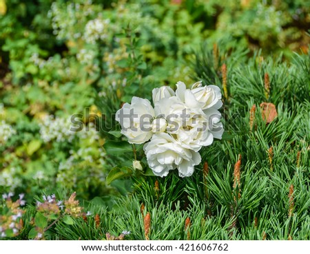 Blossoming white rose growing through a pine tree - stock photo