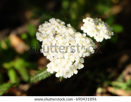 Blossoming yarrow.