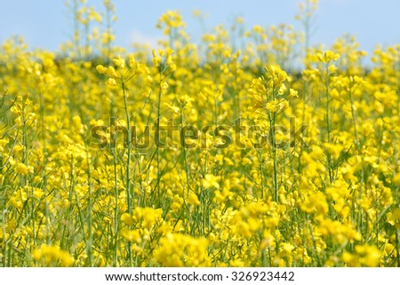 Blossoming yellow field with flowers of rape - stock photo