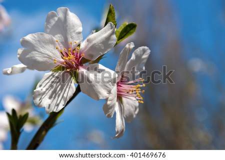 Blossoms at springtime. Flowers of almond close-up macro - stock photo