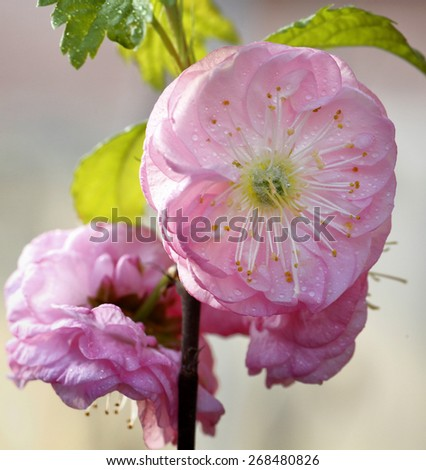 Blossoms the damask rose bush in Budapest - stock photo