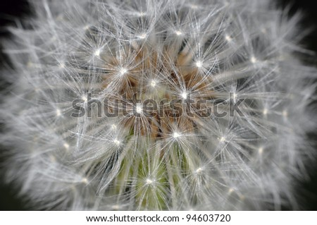 Blow-ball seed ready to start - stock photo
