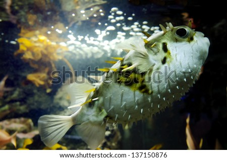 Blow fish swim underwater in the ocean - stock photo