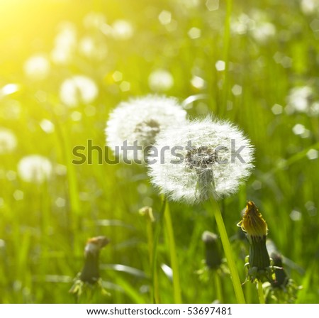 blowballs on meadow - stock photo