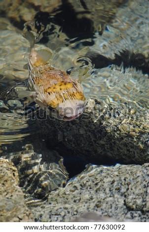 Blowfish swimming at the surface - stock photo