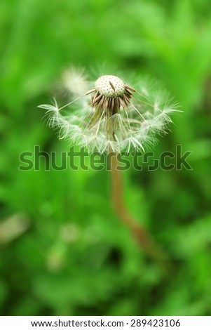 Blowing dandelion on natural blurred background - stock photo