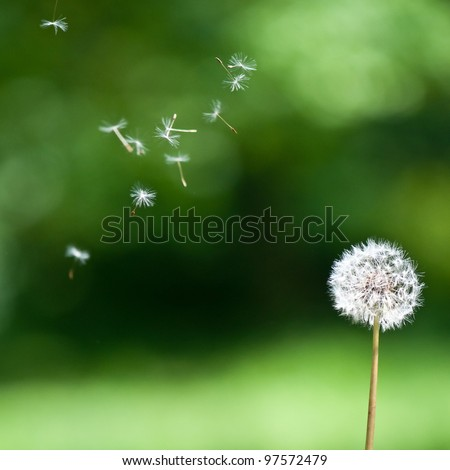 Blown dandelion - stock photo