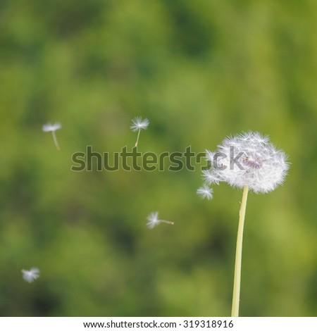 Blown dandelion against green background - stock photo