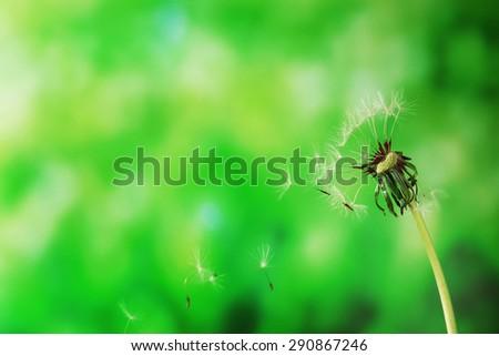 Blown dandelion on green blurred background - stock photo