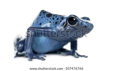 Blue and Black Poison Dart Frog, Dendrobates azureus, portrait against white background - stock photo