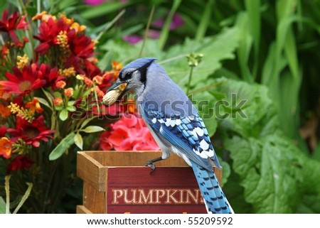 blue and colorful jay in the backyard obtaining peanuts - stock photo