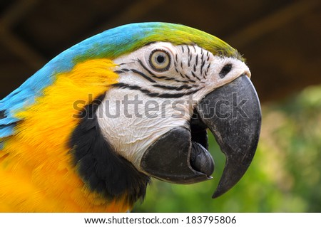 Blue-and-Gold Macaw, a bird with feathers in 2 colors, blue and yellow. Some may look to go with that gold has another name called. Blue-and-Gold Macaw - stock photo