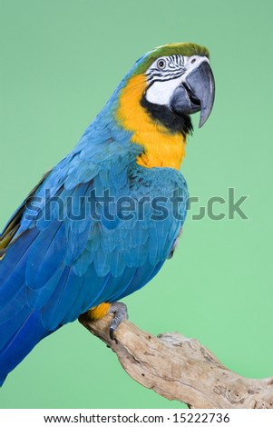 Blue and Gold Macaw portraits over a green background