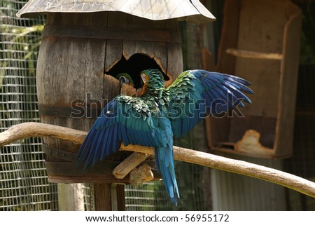 Blue and Gold macaw with his wings out, protecting their nest barrel box. - stock photo