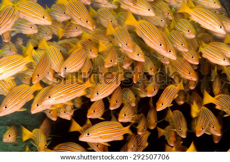 Blue and golden snapper (Lutjanus viridis), in a school in reefs of the Sea of Cortez, Pacific ocean. Cabo Pulmo, Baja California Sur, Mexico. Cousteau named it The world's aquarium. - stock photo