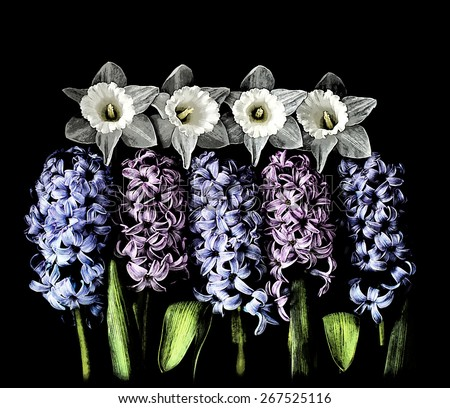 Blue and pink hyacinths flower in bloom. - stock photo