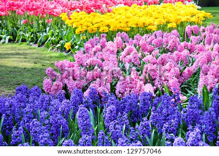 Blue and pink hyacinths, red and yellow tulips in spring - stock photo