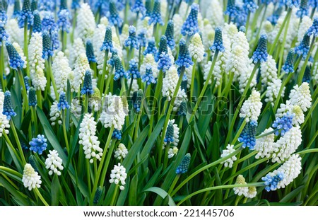 Blue and white flowers Muscari (or murine hyacinth) buds and leaves. - stock photo