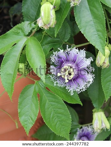 Blue and White Passion Flower With Green Leaves Against Terra Cota Flower Pot - stock photo