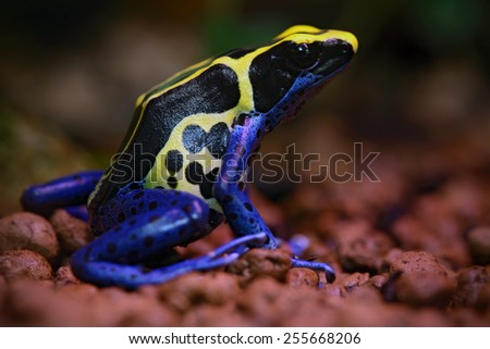 Blue and yellow amazon Dyeing Poison Frog, Dendrobates tinctorius, in nature habitat  - stock photo
