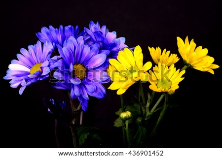 Blue and yellow daisy Floral arrangement isolated over a black background