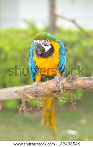 Blue-and-yellow Macaw (Ara ararauna) also known as the Blue-and-gold Macaw, a large South American parrot