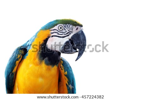 Blue-and-yellow macaw (Ara ararauna), Macaw parrot on white background - stock photo