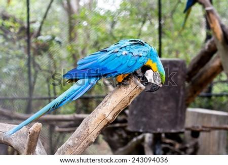 blue-and-yellow macaw (Ara ararauna) nibble log. - stock photo