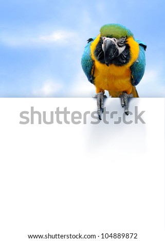 Blue-and-yellow Macaw Ara ararauna on blue sky background with empty space for your text