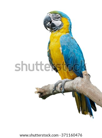 Blue-and-yellow macaw (Ara ararauna) perched on the branch, isolated
