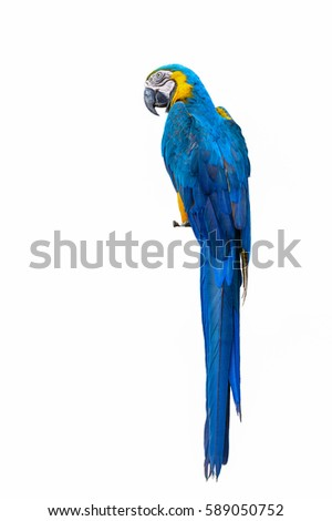 Blue and yellow macaw, beautiful bird isolated with white background.