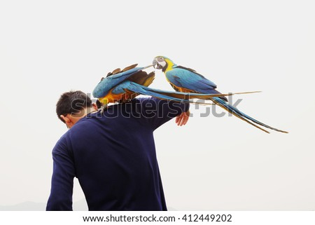 Blue and Yellow Macaw birds  holding stand with a man  - stock photo