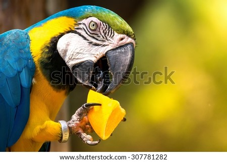 Blue-and-yellow macaw eating a piece of orange