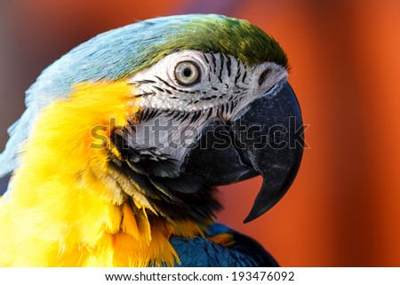 Blue and Yellow Macaw in Namibia, Africa - stock photo