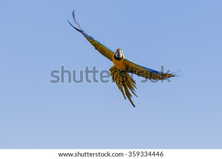 Blue and yellow macaw in the air. A spectacular blue and yellow macaw cuts across a clear blue sky.