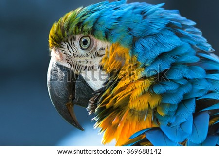 Blue-and-yellow macaw (lat. Ara ararauna) close-up - stock photo