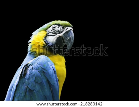 Blue and Yellow Macaw on black background - stock photo