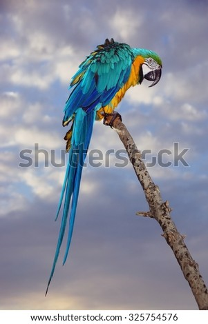 Blue And Yellow Macaw Or  Ara Ararauna  Parrot On The Wood Twig - stock photo