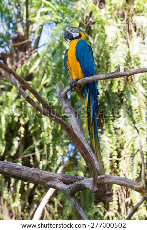 Blue and Yellow Macaw Parrot , Ara ararauna , also known as the Blue and Gold Macaw in Bali Bird Park, Indonesia