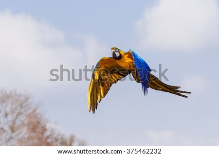 Blue and Yellow Macaw passing woodland. A magnificent blue and yellow macaw passes some woodland as it flies along. - stock photo
