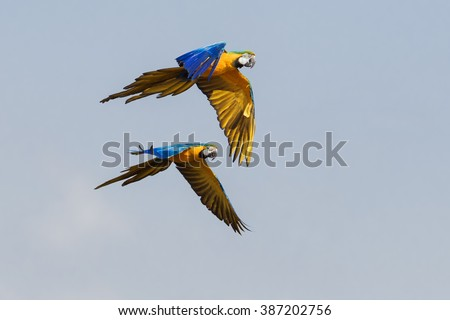 Blue and yellow macaws flying together. A pair of beautiful blue and yellow macaws fly together across a blue sky. - stock photo