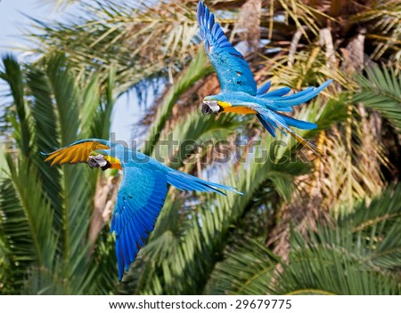 Blue-and-yellow Macaws in flight - stock photo