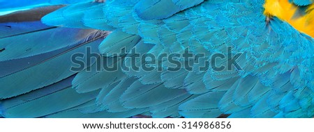 Blue and yellow texture shoot from Blue and Gold macaw bird's feathers for design and background works, blue background - stock photo