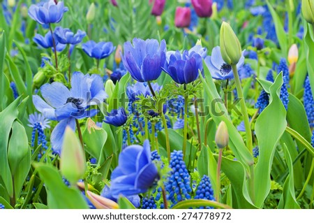 Blue Anemone and other flowers blooming above green leaves at Keukenhof park, Holland. - stock photo