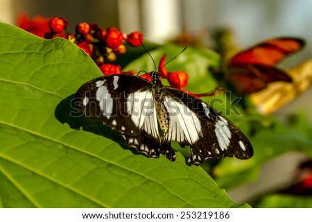 Blue banded morpho butterfly sitting on green leaf in early morning sunlight - stock photo