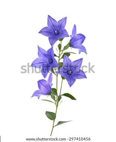 Blue Bell Flowers Isolated On White Background - stock photo
