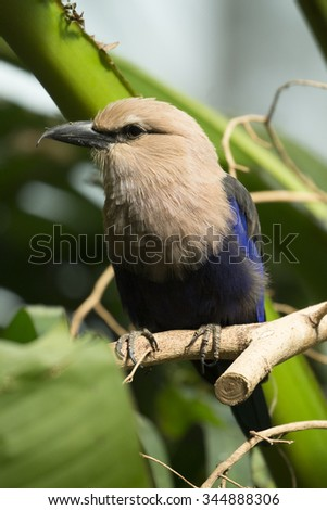 Blue-bellied roller - stock photo
