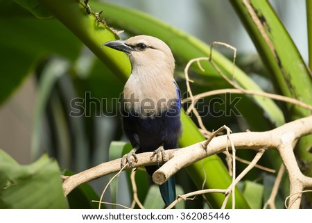 Blue Bellied Roller - stock photo
