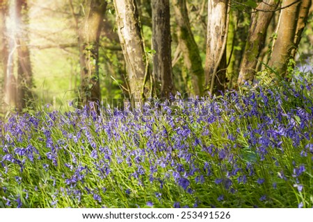 Blue bells in the forest at sunrise