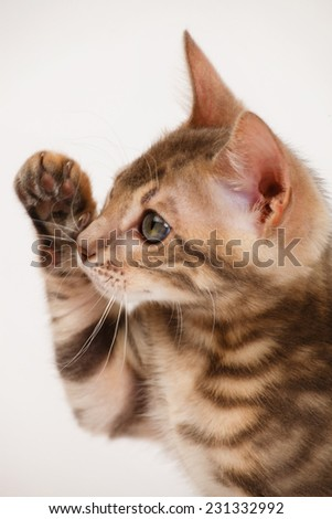 Blue Bengal Kitten Close-up Portrait - stock photo